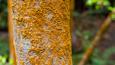 Yellow-Orange coloured Lichen