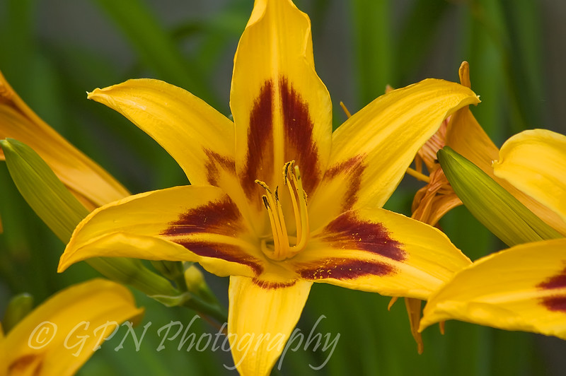 Hemerocallis (Day Lily)