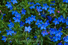 Lithodora (Heavenly Blue)