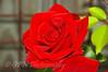 Dublin Rose