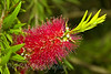 Callistemon (Bottlebrush)
