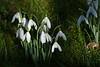 Snowdrops taken in my garden