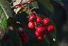 Cotoneaster berries taken in my garden