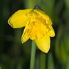 Daffodil taken in my garden