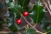 Holly berries taken in my garden