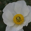White Poppy, Balboa Park, San Diego, May 2008
