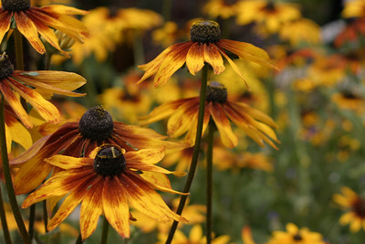 Black Eyed Susans, Balboa Park, San Diego, May 2008