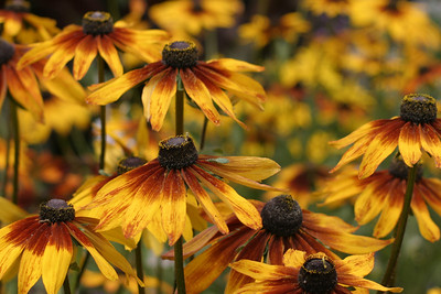 Black-Eyed Susans, Balboa Park, San Diego, May 2008