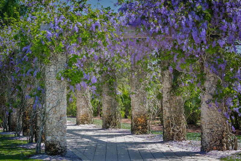Queen's Wreath at Naples Botanical Gardens