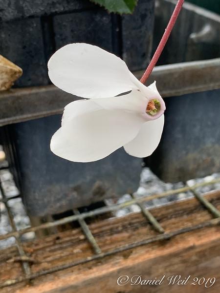 White cyclamen persicum (species, not florist's)