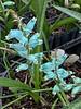Lachenalia viridiflora