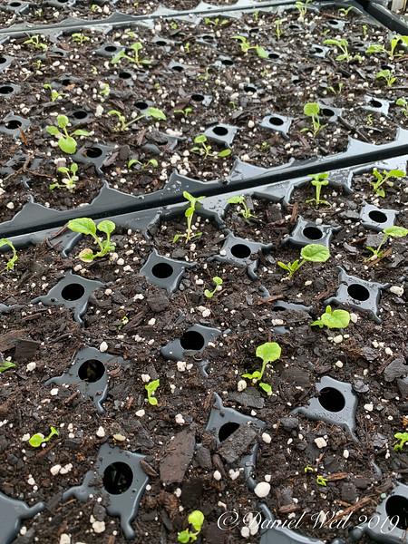 Primula seedlings