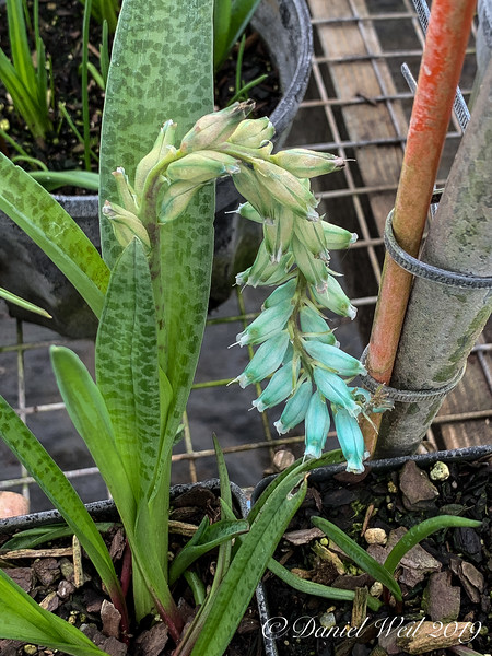 Lachenalia viridiflora, better display of leaf marking
