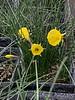 Hoop skirt daffodils