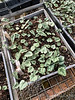 Cyclamen hed seedlings in G.G. greenhouse