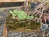 Mossy trough, variegated sedum, Gettysburg Gardens