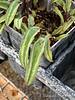 Sagittate leaf cyclamen hed, Gettysburg Gardens