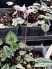 Cyclamen hed seedlings Gettysburg Gardens 12/18