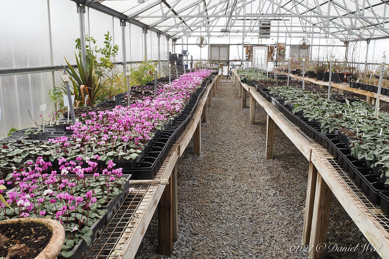 Cyclamen coum in full blast.  To the R, hederifolium (those are stock plants).