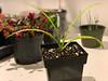 Amaryllis belladonna, gift fm Gettysburg Gdns