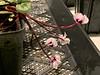 Cyclamen coum flowers, 1/14/20