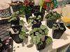 Cyclamen hederifolium, 1/14/20