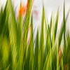 Gras; Gräser; Abstrakte Pflanzen Struktur, abstract plant structure