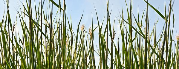 Gräser, Pflanzen, Grass, grasses, plants