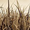 Gräser, Pflanzen, Grass, grasses, plants, sepia
