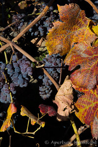 Vinyard Grapes