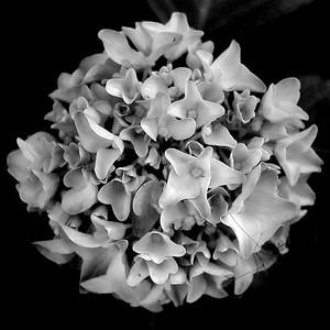 Hydrangeas | 2006