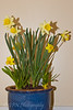 Mothers Day Daffodil pot