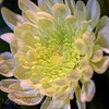 Cloe-up of a subtle White Chrysanthemum flower