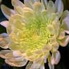 Cloe-up of a subtle White Chrysanthemum flower