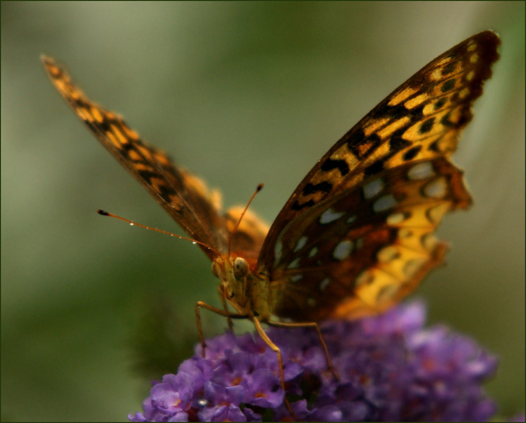 Great Spangled Frittilary, August 2008