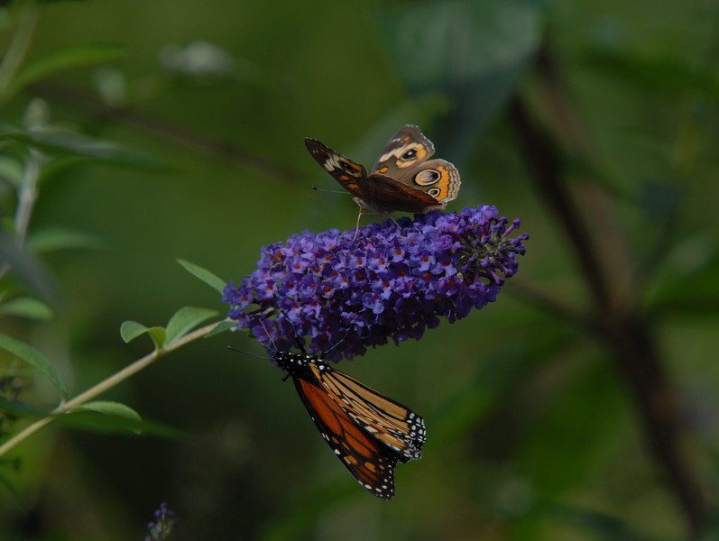 Common Buckeye and Monarch, October 2008