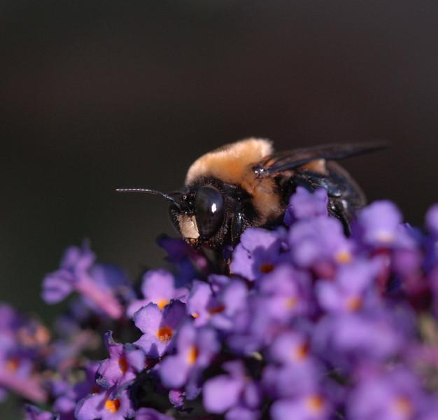 Bumblebee, October 2008
