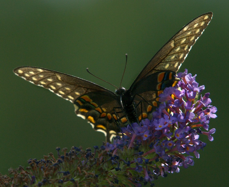 Spicebush Swallowtail female, August 2008