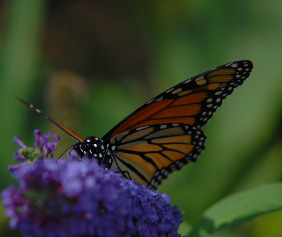 Monarch, October 2008