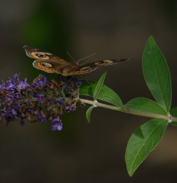 Common Buckeye, October 2008