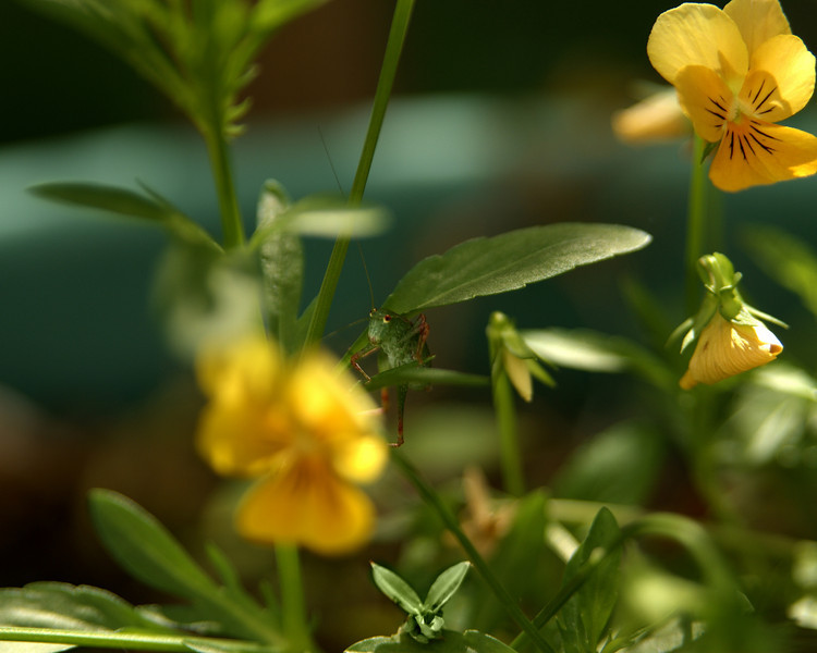 Baby Grasshopper on Violas