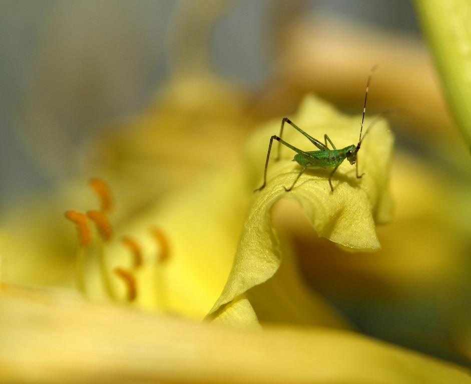 Baby Grasshopper on Daylily