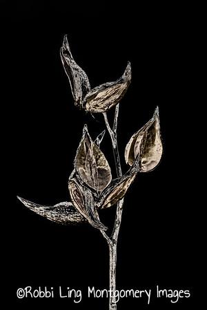 Milkweed Dark