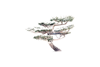 Japanese Pine in Snow