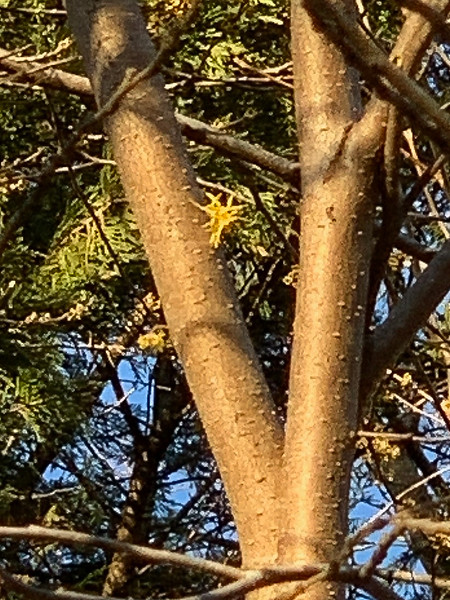 Last blooms Hamamelis virginiana, N of shade room