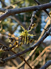 Last blooms on Hamamelis Virginiana N of shade room