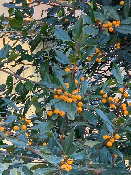 Yellow fruited holly, N of g'house