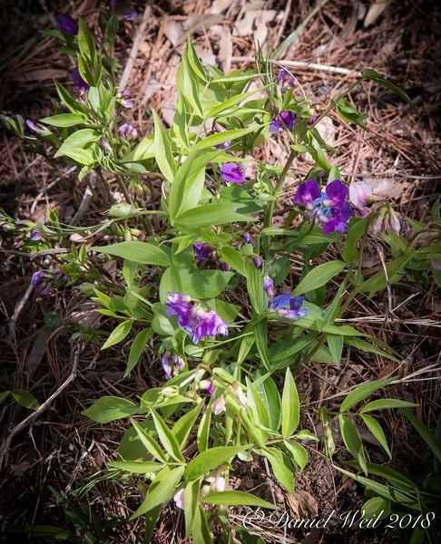 Lathyrus vernus 'Purple'