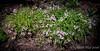 Lathyrus vernus