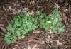 """Corydalis solida 'Gunite"""" (said to be one of Ruksans' favorites)"""